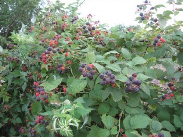 Описание сортов чёрной малины: посадка и уход, отличие от ежевики