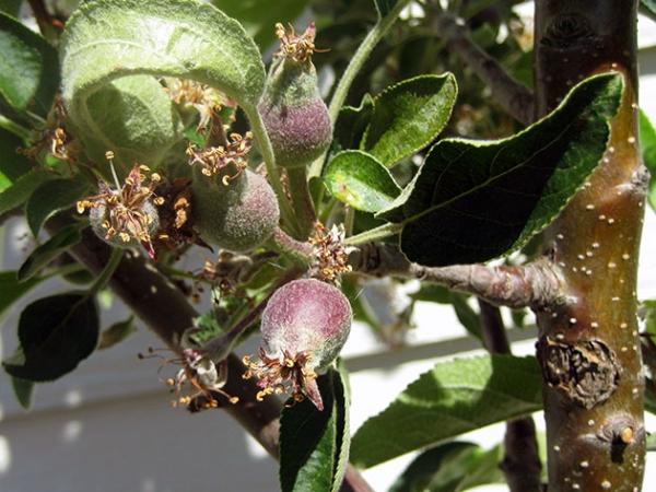 Основные болезни и вредители яблони: тля, яблонная плодожорка, медяница и цветоед и др.