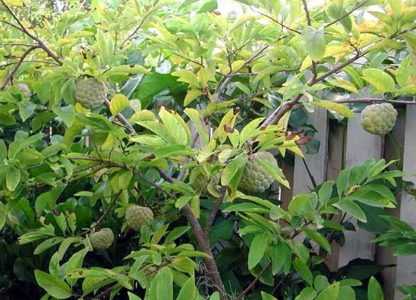Сахарная яблоня с плодами