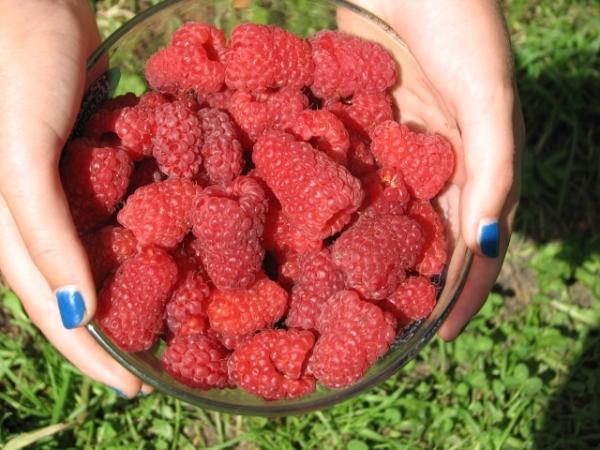 Недостаток малины Маросейка - с годами ягоды мельчают