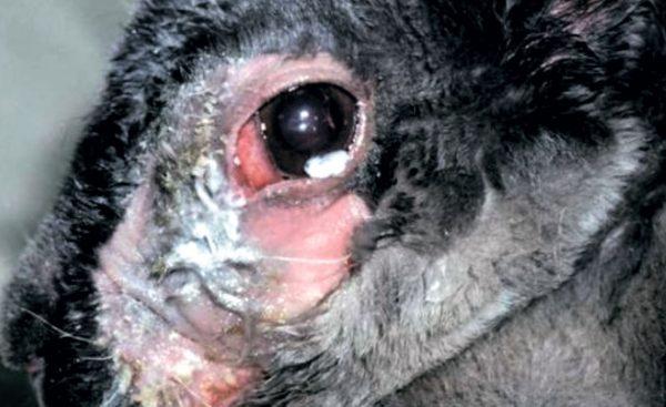 Дакриоцистит у кролика