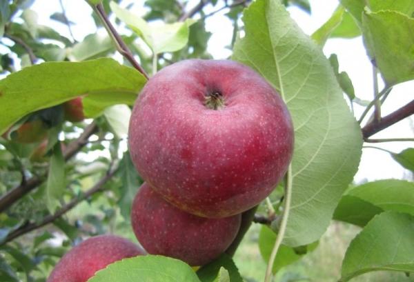Яблоня сорта Лобо: описательные характеристики, достоинства и недостатки
