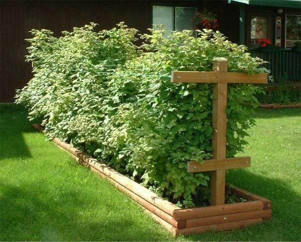 Как выращивать малину на даче: правила и методы посадки и ухода