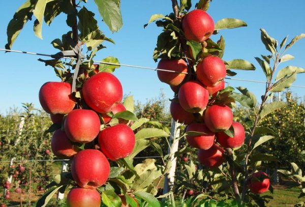 Яблоня с плодами сорта гала