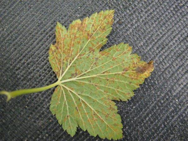 Пораженный ржавчиной лист