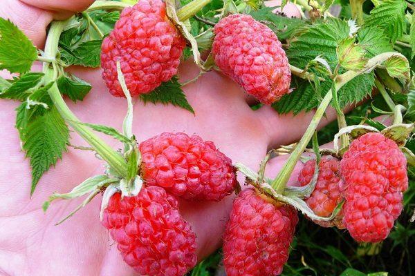 Сдвоенные ягоды