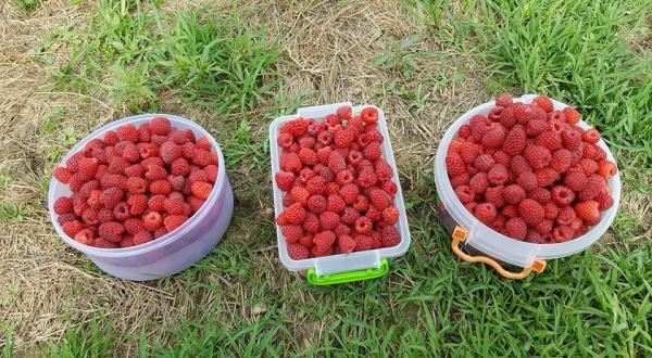 Выращивать малину на продажу можно в теплице и под открытым небом