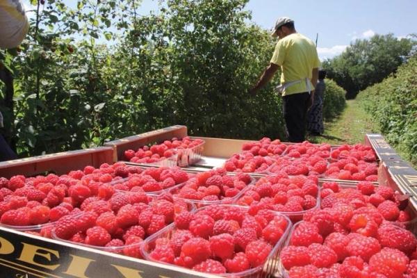 Бизнес по выращиванию малины необходимо зарегистрировать