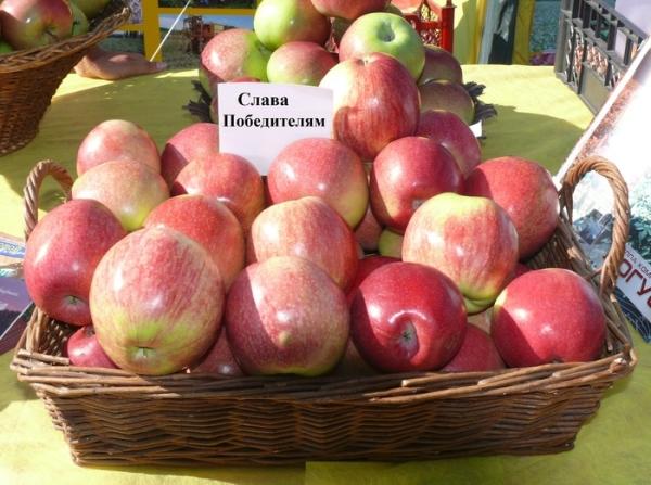 """Яблоня сорта """"Слава Победителям"""" нуждается в ежегодной подкормке, прореживании кроны"""