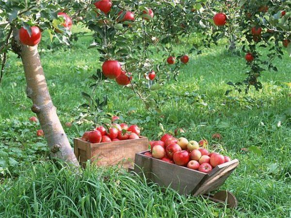 Сбор плодов яблони сорта гала