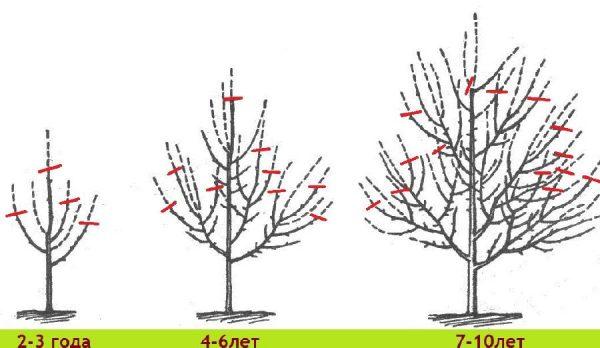 Яблоня орловский синап