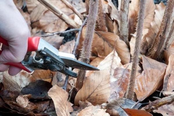 Обрезка нужна не только, чтобы удалить вредителей, но и для уборки старых побегов малины