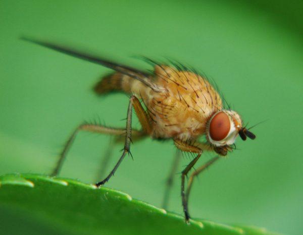 Малиновая стеблевая муха