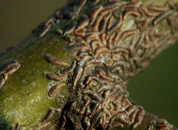 Яблонная запятовидная щитовка