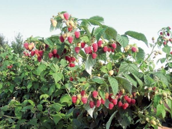 Куст малины полька с ягодами