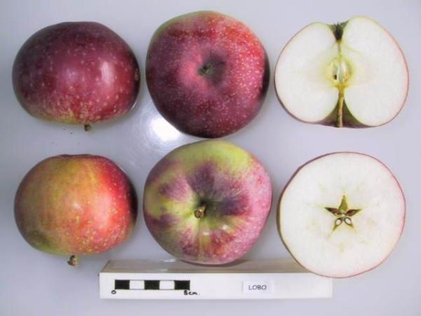 Яблоки сорта Лобо крупные, красного или бордового цвета, сочные