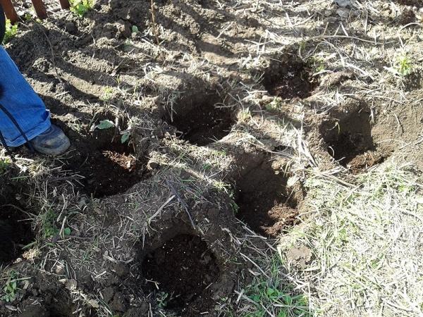 Небольшое количество малины лучше высаживать ямочным способом
