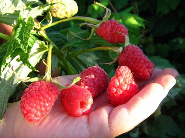"""Размеры ягод с куста малины """"Исполин"""""""