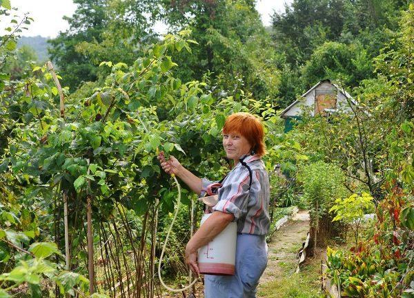 Обработка кустов малины от вредителей