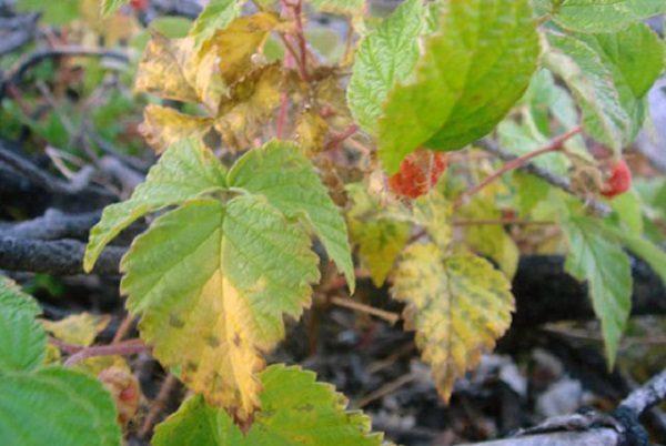 Пурпурная пятнистость листьев