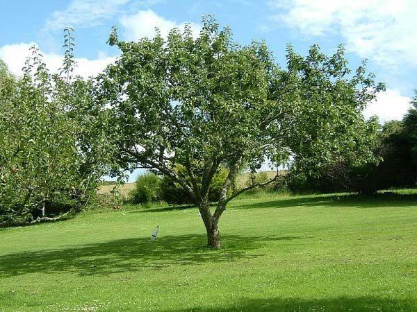 Дерево антоновка