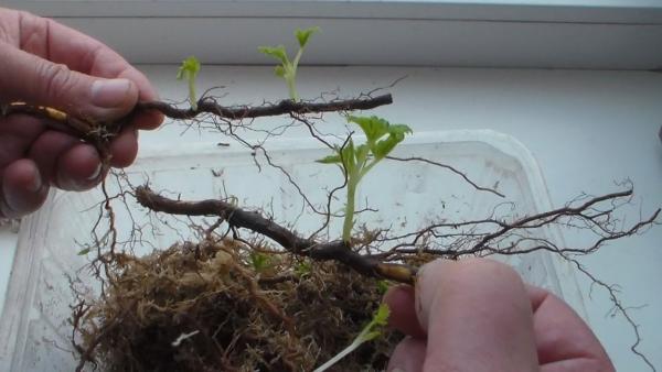При размножении малины корневыми отпрысками - приживаемость отличная