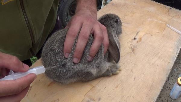 Вакцинировать кроликов необходимо раз в полгода