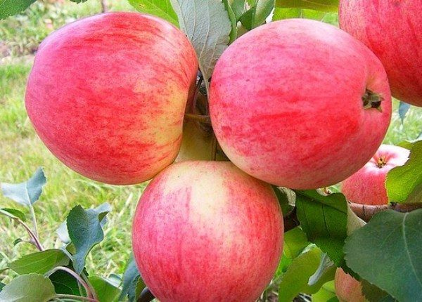 Плоды яблони пепин шафран