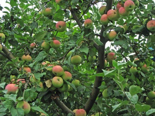 Яблоня с плодами Мельба