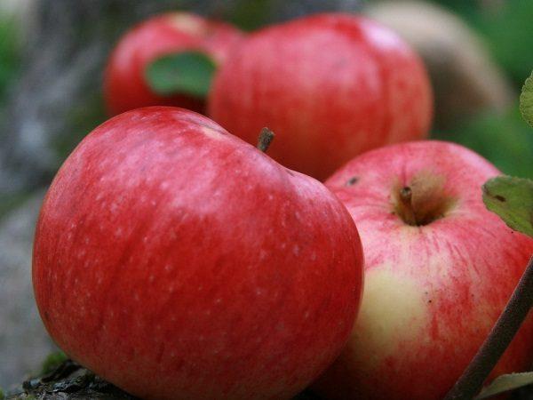 Яблоки осеннее полосатое (Штрейфлинг, Штрифель)