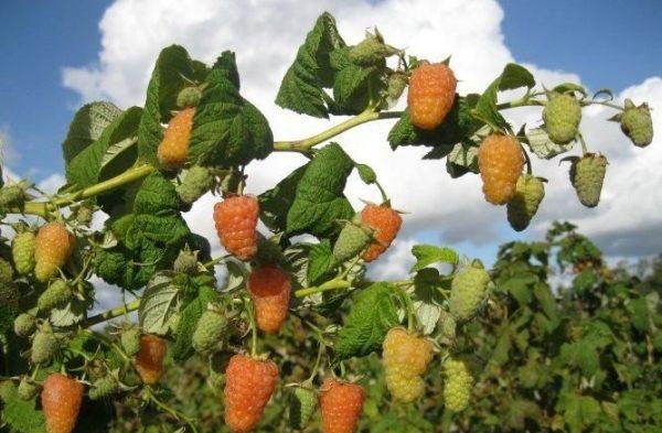 """Куст я ягодами малины """"Оранжевое чудо"""""""