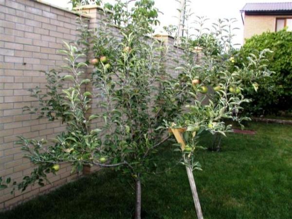 """Для прививания и последующего размножения сорта """"Слава Победителям"""" лучше использовать дикие яблони"""