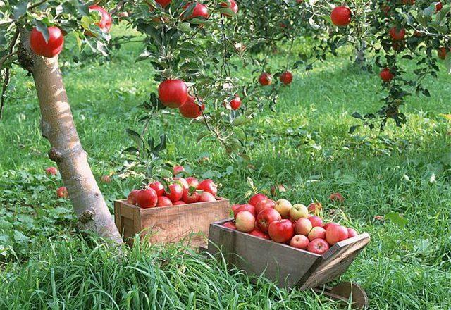 Сбор урожая яблок розовый жемчуг