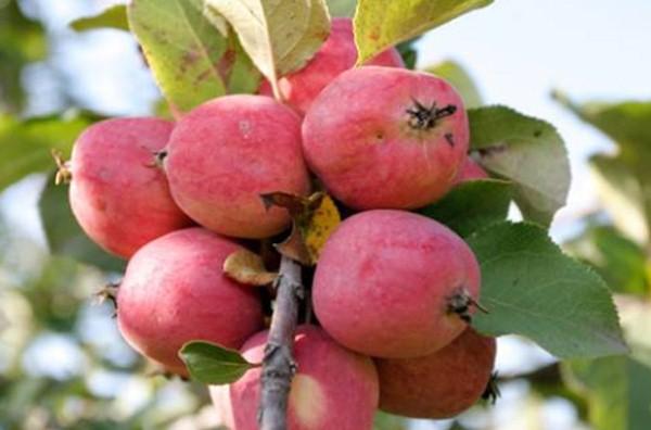 Яблоки пепин шафранный