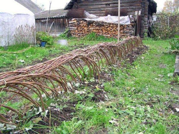 Пригибание кустов малины к земле перед холодами