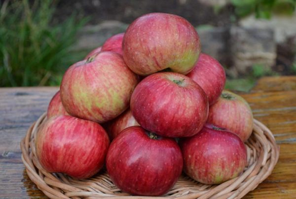 """Урожай яблок """"Анис полосатый"""""""