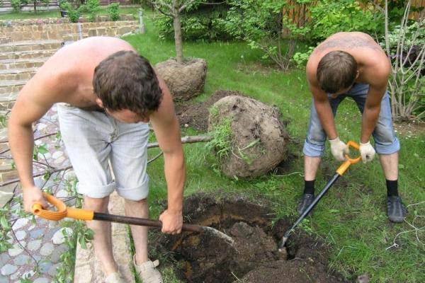 Высаживать яблоню сорта Лобо можно как весной, так и осенью
