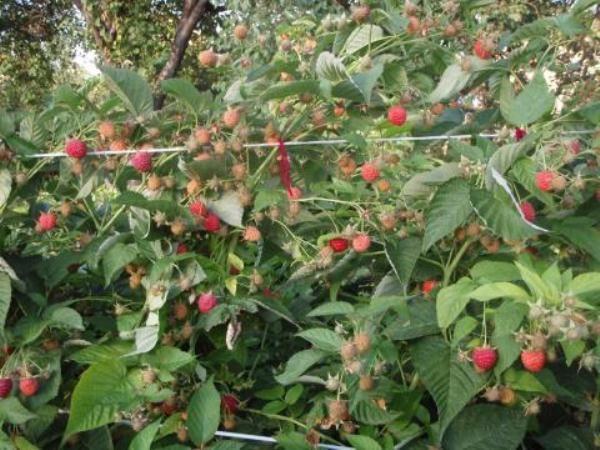Кусты малины бабье лето с ягодами