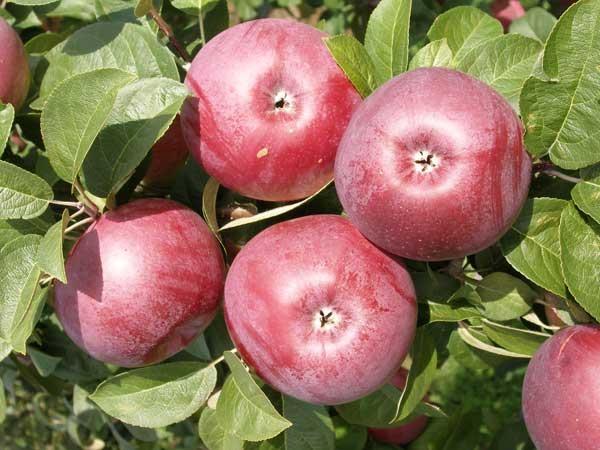 Яблоки спартан