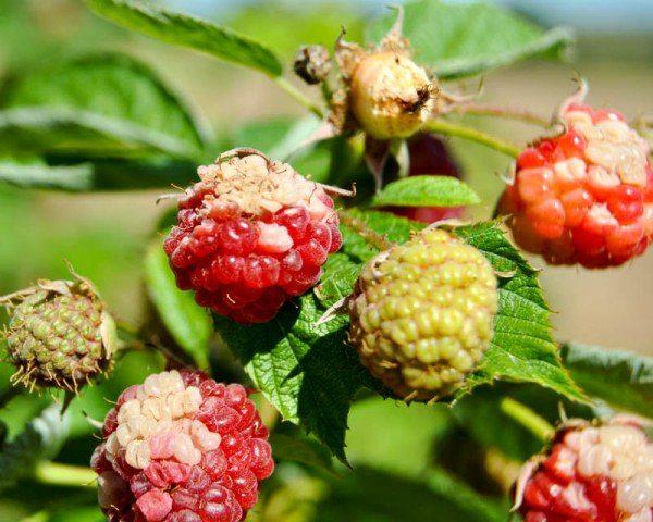 Заболевания ягод малины