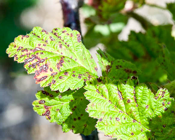 Пурпурная пятнистость на листьях малины