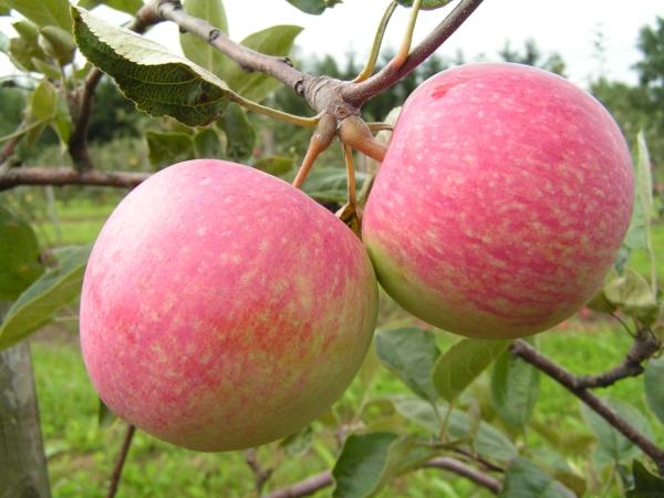 """Яблоня сорта """"Слава Победителям"""" подвержена заболеванию паршой, млечным блеском, мучнистой росой и плодовой гнили"""