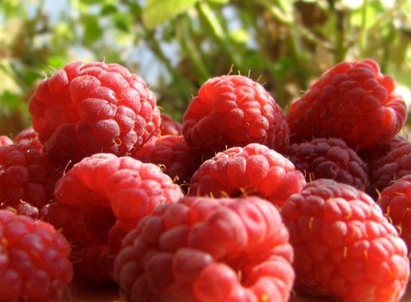 Выращивание малины как бизнес: основные этапы, преимущества и недостатки