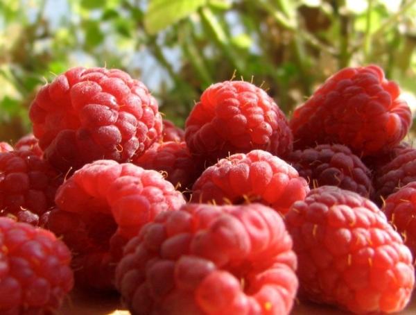 Выращивание малины как бизнес: План и рентабельность 79