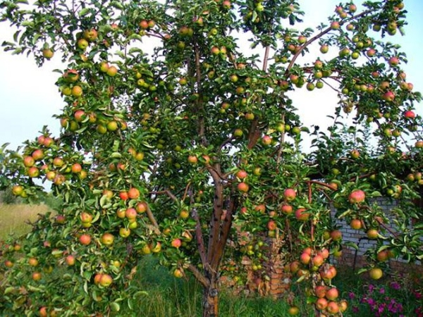 Яблоня жигулевское описание фото отзывы