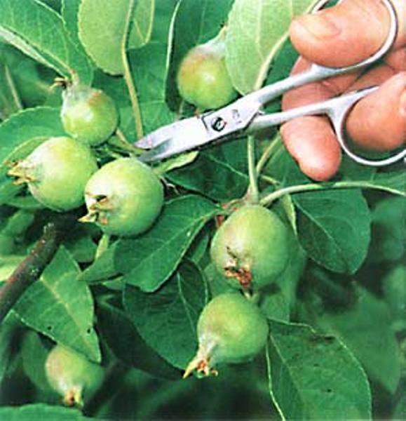 Прореживание яблочных завязей