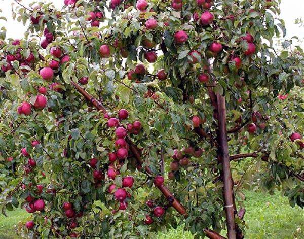 Яблони сорта Лобо неприхотливы в уходе, нуждаются в удобрении мочевиной и золой
