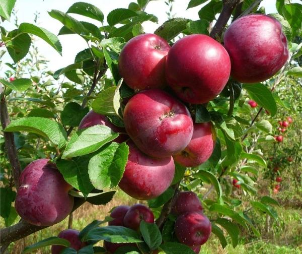 """Наилучшим периодом для посадки яблони """"Спартан"""" будет конец апреля или начало сентября"""