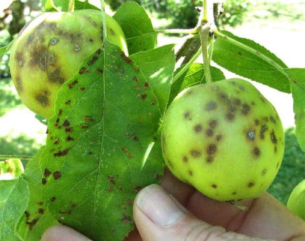 Парша на листьях и еще зеленых яблоках