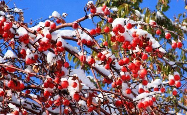 Сорт яблок Апорт имеет разновидности морозостойких деревьев